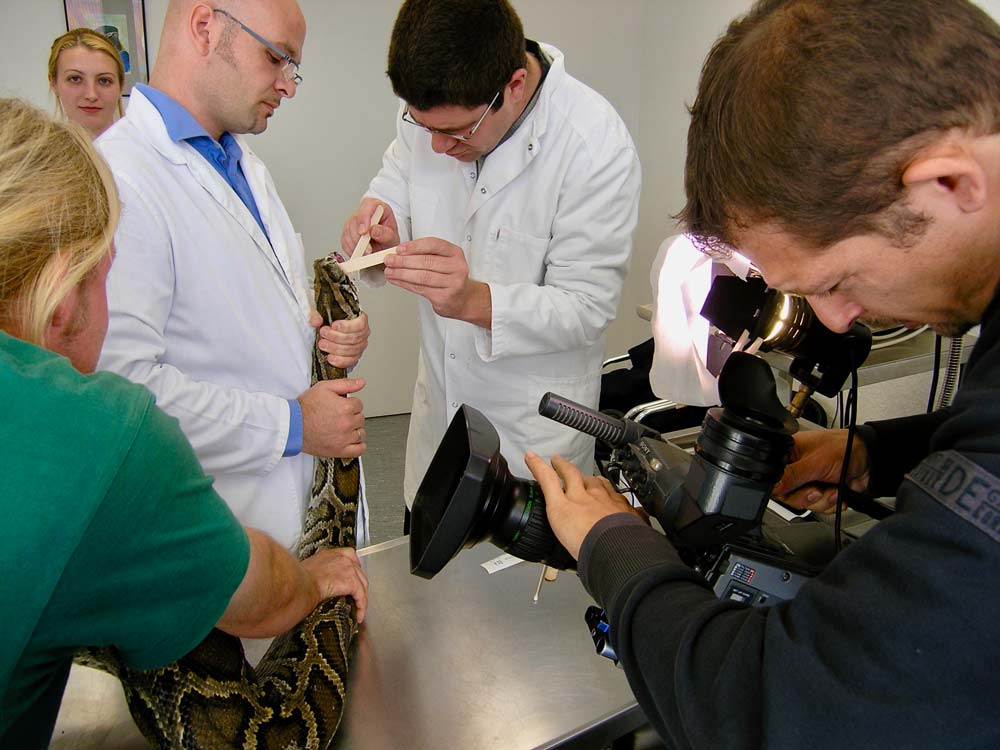 In Exotik-Tierarztpraxis wird die Riesenschlange behandelt