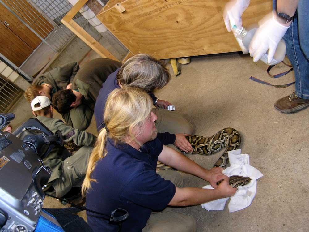 Die Riesenschlange im Zoo Heidelberg muss eingefangen und behandelt werden