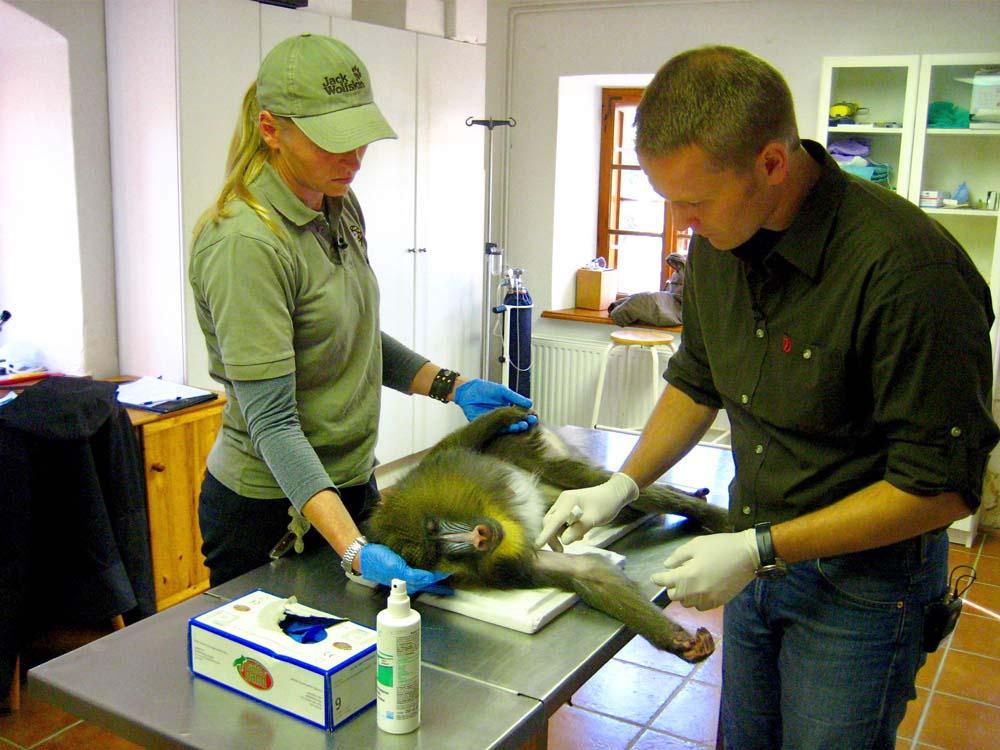 Tierarzt impft einen Affen in einem Tierpark in Österreich
