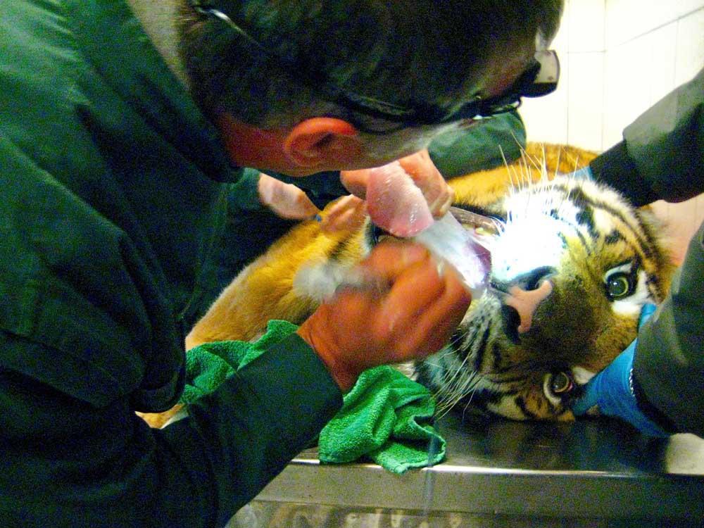 Tiger im Zoo Krefeld muss sich Zahnbehandlung unterziehen